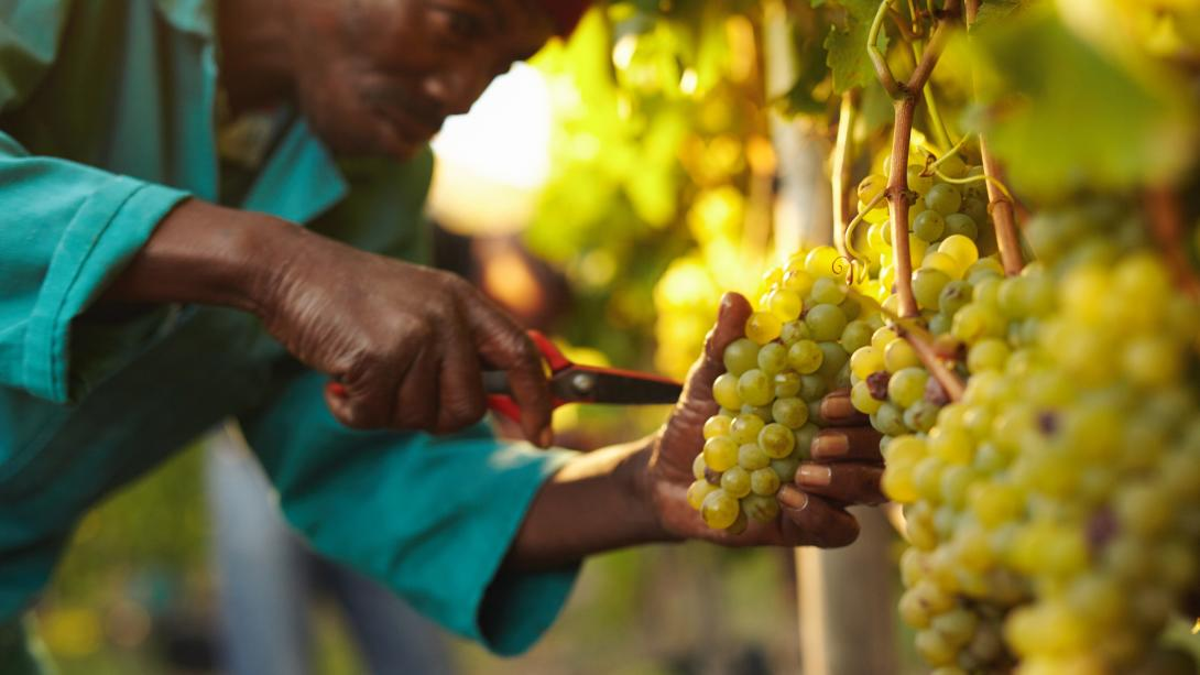 Un ouvrier agricole collecte les grappes de raisins à Stellenbosch, Afrique du Sud